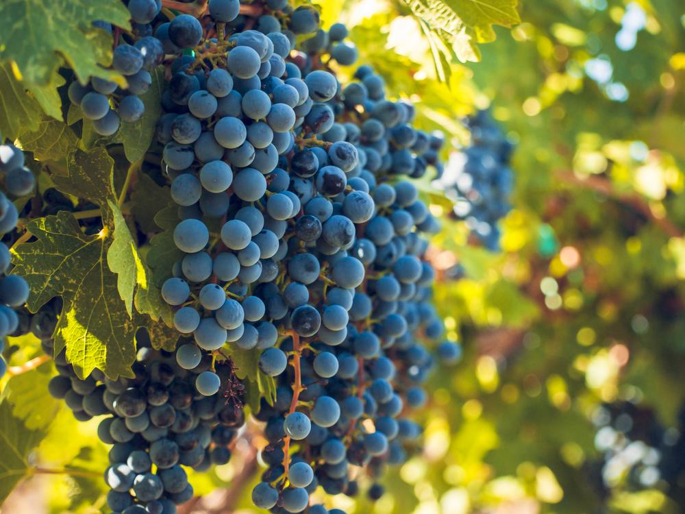 tipos de uvas malbec