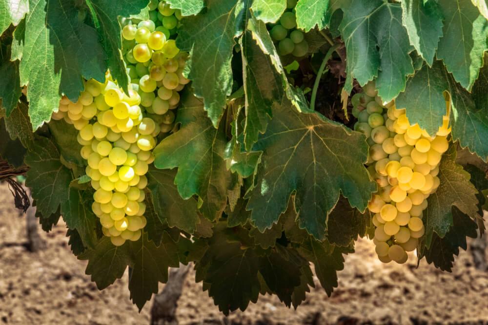 vinhos espanhois airen