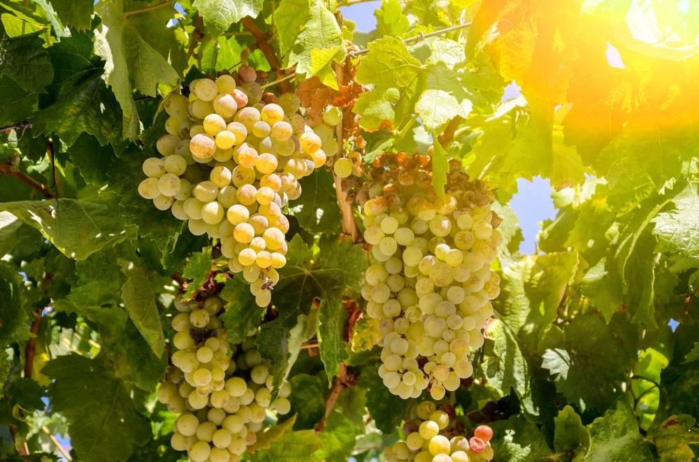 Guia De Uvas: Vinhos Brancos Leves Da Uva Sauvignon Blanc