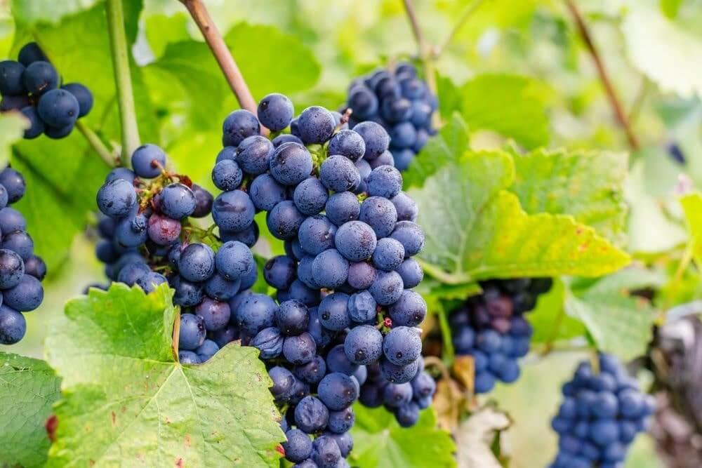 vinho beaujolais características