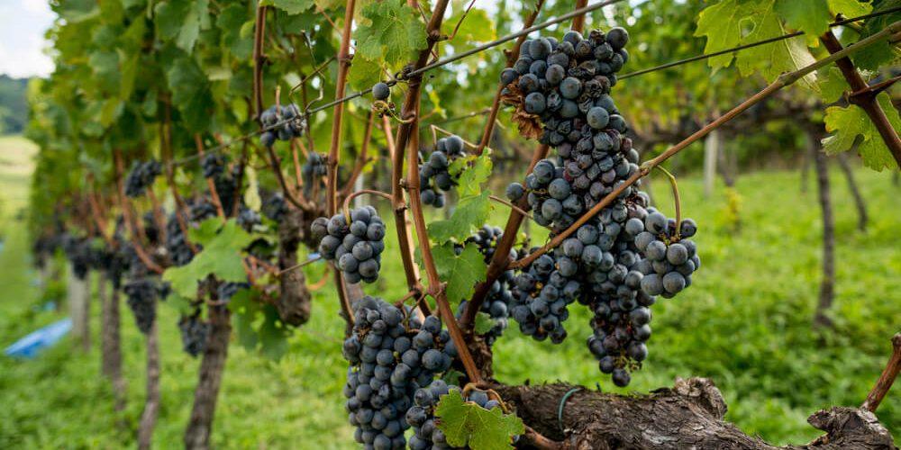 Guia De Uvas: Tannat, Símbolo Dos Vinhos Uruguaios