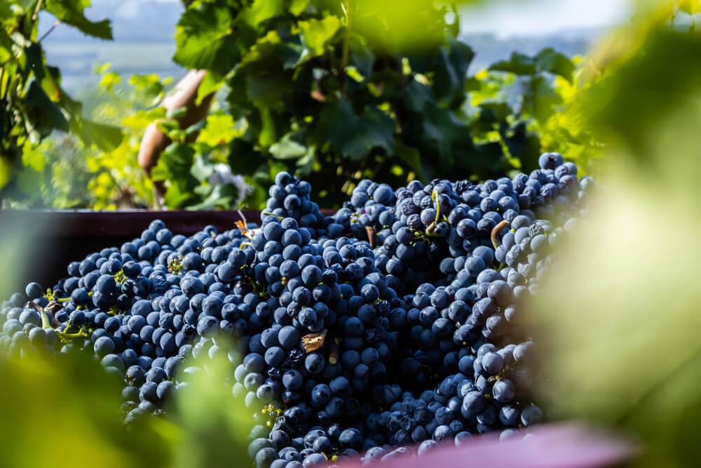 vinhos uruguaios história
