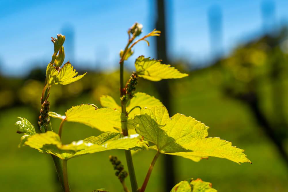 vinhas velhas ciclo da videira