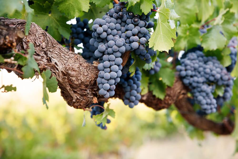 vinhas velhas o que são