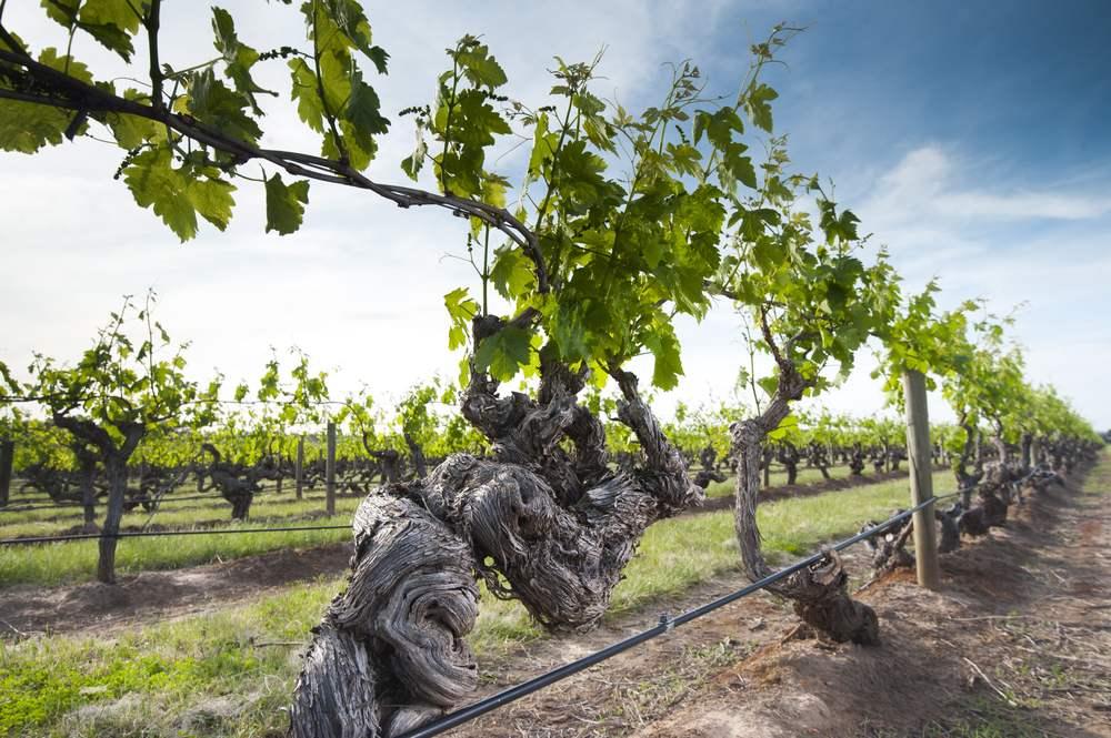 Entenda A Influência De Vinhas Velhas No Perfil Dos Vinhos
