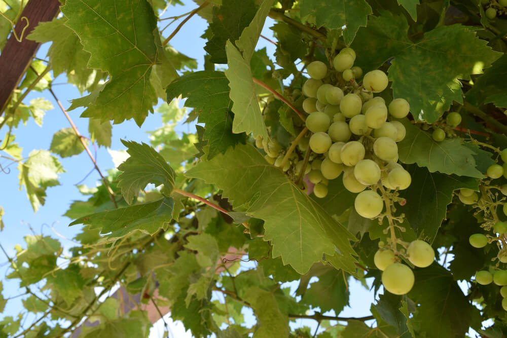 Uvas Brancas Para Fazer Vinhos De Lisboa