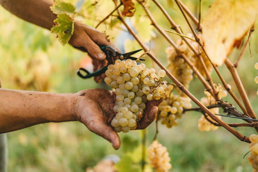 métodos de produção de espumantes método champenoise ou tradicional homem segurando uvas