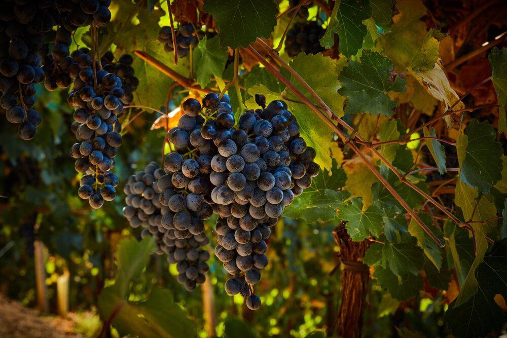 tipos de lambrusco variedades da uva lambrusco - foto da uva Lambrusco Grasparossa