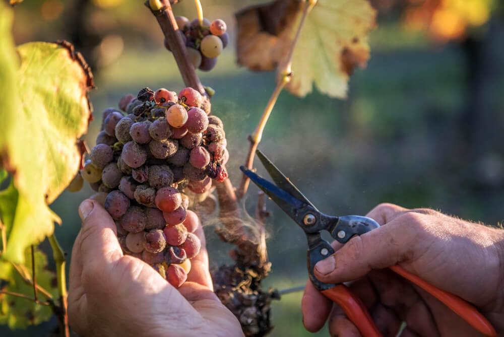 vinho botrytis como são feitos os vinhos botrytis