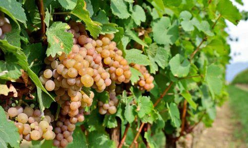 Pé Da Uva Pinot Grigio
